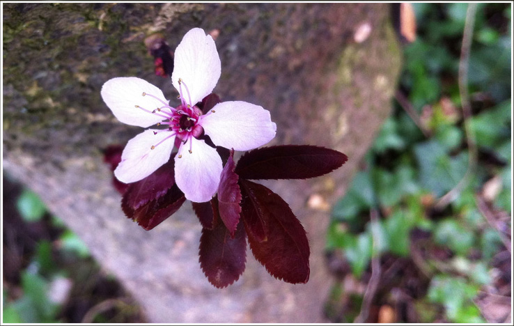 The First Blossom..