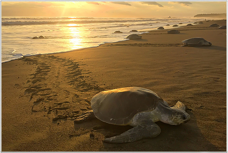the olive ridley sea turtle